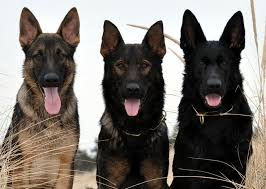 belgian shepherd ears best 20 black german shepherd puppies ideas on pinterest black