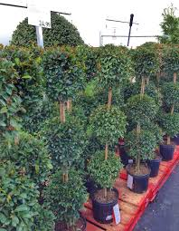 topiary trees gorgeous and to find topiary trees at costco