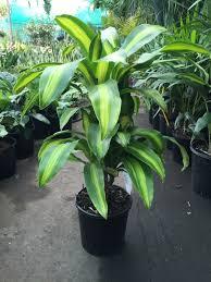 dracaena dracaena fragrans u0027massangeana u0027 happy plant westlake nursery