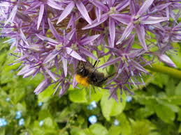 free images plant meadow purple botany garden flora fauna