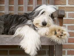 bearded collie x terrier bearded collie information and wallpapers bearded collie
