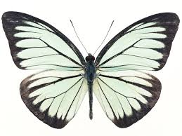 butterfly free stock photo a white butterfly isolated on a