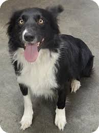 australian shepherd mix with border collie digger adopted dog the dalles or border collie australian
