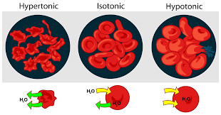 blood red blood cell wikipedia