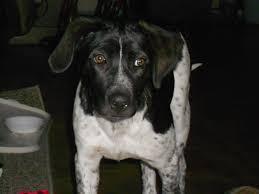 bluetick coonhound jack russell mix luna the bluetick coonhound rottweiler mix allmutt com