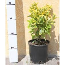 buxus sempervirens in vaso evomino variegato vaso 15 cm vendita piante on line solopiante it