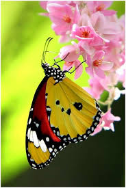 124 best butterflies on flowers images on beautiful