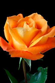orange roses single orange photograph by garry