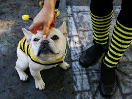 Halloween Costumes Bulldogs Pet Friendly Halloween Events Minn Wcco Cbs Minnesota