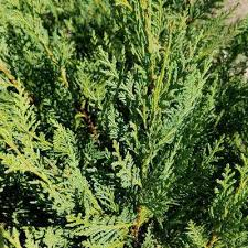 evergreen ornamental trees trees the home depot