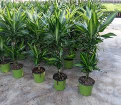 dracaena cintho 45 15 indoor green plants florpagano di antonio
