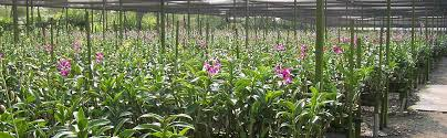 orchids asia vanilla beans plants support systems