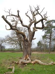 a great standing almost dead oak with deadwood beneath arboriculture