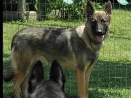 belgian shepherd for sale south africa bradford u0027s k 9 corral german shepherd dog puppies for sale