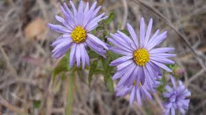 midwest native plants midwest native plants gardens and wildlife shale barren asters