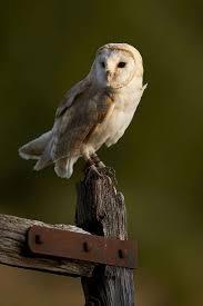 barn owl habitat diet u0026 reproduction reptile park
