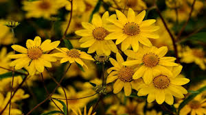 how to grow yellow daisies in your garden 10 charming ideas