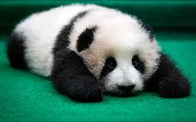 Sad Panda Meme - psbattle sad panda photoshopbattles