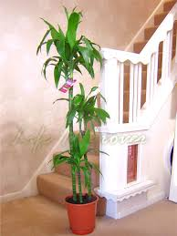 Indore Plants 1popular Evergreen Indoor House Plant Pot Office Home