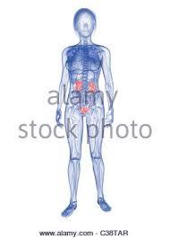Female Urinary System Anatomy Illustration Of Female Kidneys And Urinary System Stock Photo