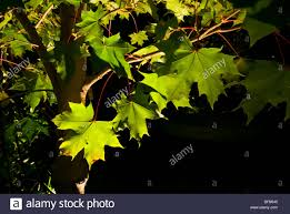 ornamental lighting illuminates leaves in the canopy of a