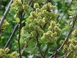 Fragrant Plants For Shade - best shrubs