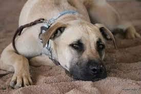 chow chow x belgian malinois belgian greyhound belgian greyhounds belgian malinois x greyhound