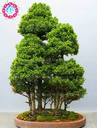 ornamental evergreen trees promotion shop for promotional