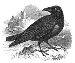 halloween raven background black and white bird of the month the raven the toast