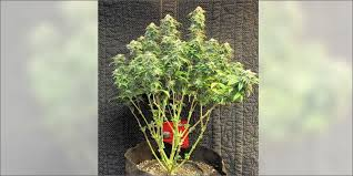 how many grams of sugar in a bud light how to manipulate your plant s sugar production for bigger buds