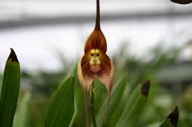 monkey orchid monkey orchid