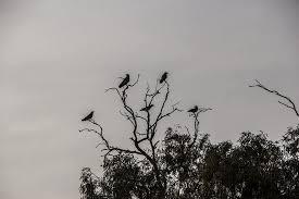 crows tree black scary bird photos