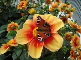 brown black moth free image peakpx