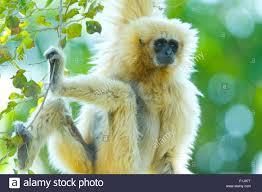 lar gibbon hylobates lar hanging from a tree stock photo