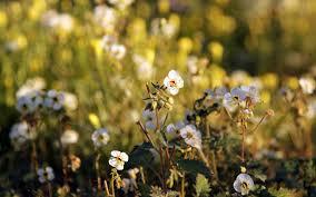 anza borrego desert state park u0027s 2017 super bloom is well worth