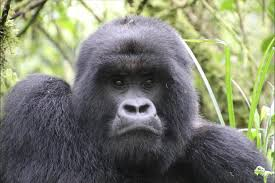 how one zoo helped save the mountain gorilla