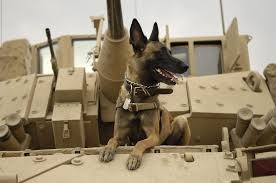 belgian shepherd kennels war dogs the belgian malinois