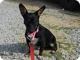 australian shepherd x kelpie millie adopted puppy lawrenceburg tn dachshund australian