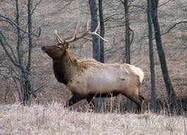 Kentucky wildlife tours images Ky tours provide upclose look at appalachian elk jpg&a
