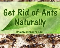 Natural Ant Killer For Kitchen by Diy Homemade Ant Killer And Natural Ant Repellent Recipes