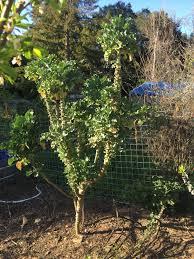 oaktown native plant nursery since everyone asked my 9ft 7 year old kale tree gardening