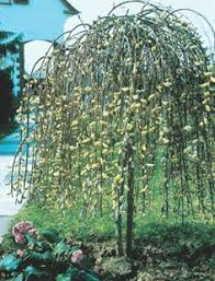 weeping willow height solidaria garden