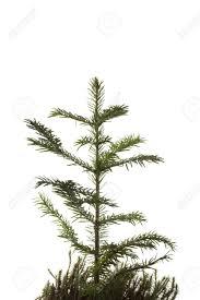 christmas tree sapling home design inspirations