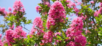 trees with pink flowers summer flowering trees flower power
