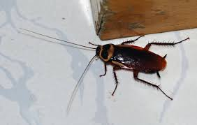 How To Get Rid Of Roaches In The Bathroom Kitchen Roaches In Kitchen Marvelous On How To Get Rid Of Small