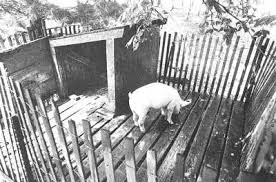 Backyard Pig A Pigpen For The Backyard The Contrary Farmer