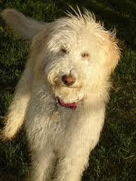 labradoodle hairstyles ellsworth labradoodle puppies retired dogs