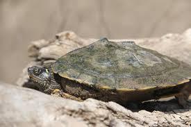 map turtle kansas herp atlas taxonomic accounts