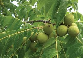plants native to new jersey farmer profile coble u0027s edible nuts growing