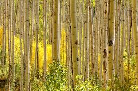the aspen grove
